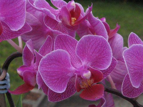 orchid pink houseplant
