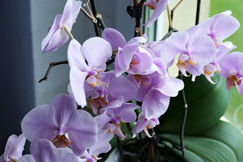 orchid flower close