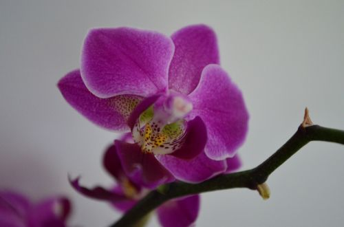 orchid houseplant flower