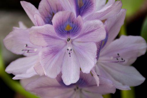 orchid purple flowers lotus