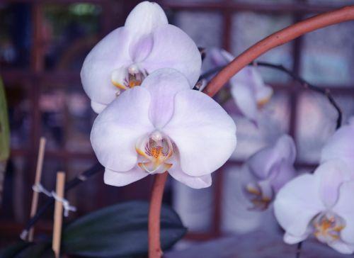 orchid flowers orquidea