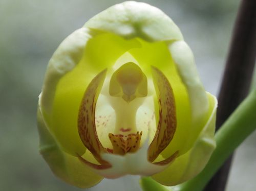 orchid bud flower