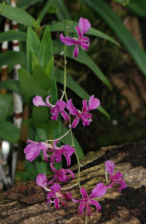 orchid purple leaves