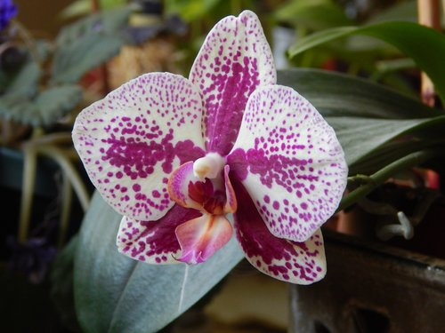 orchid  pink  white