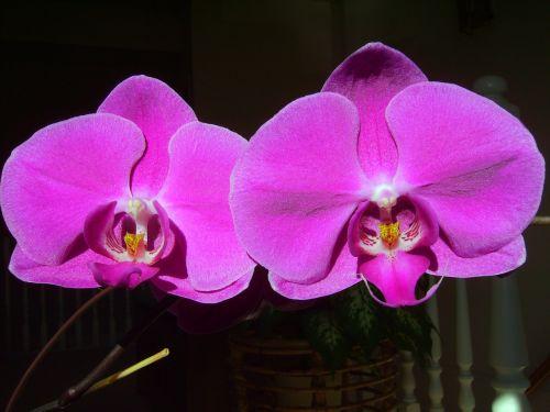 orchidėja,Phalaenopsis,meilė,Draugystė,įsimylėti,vaikystės mylėtės