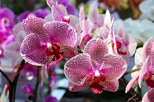 orchid  vanda ms joachim  purple