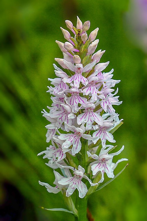 orchid  common spotted  color