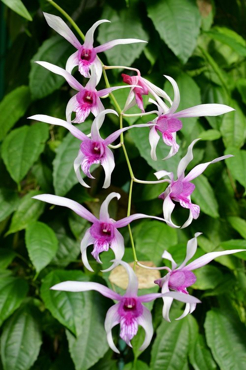 orchid  panicle  flowers