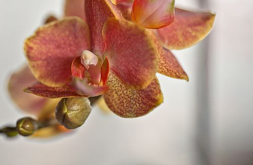 orchid,orchis,flower,flower room,oriental flower,plant,flower buds,flower petals,blooming,nature