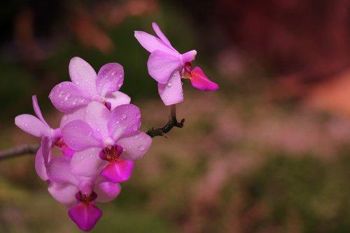 orchid  purple  flower
