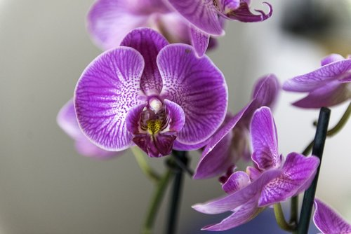 orchid  flower  houseplant