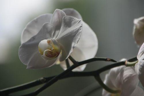 orchidėja,Phalaenopsis,žiedas,žydėti,gėlė,augalas baltas,gamta,žydėti