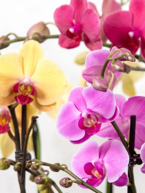 orchid phalaenopsis butterfly orchid