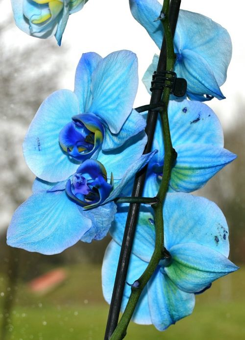 orchid flower blue orchid