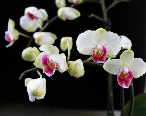 orchidėja,kambarinis augalas,augalas,gėlė,gražus,gėlės,pasodintas augalas