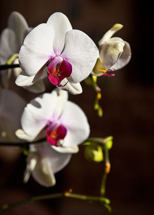orchid,orchis,flower,blooming,flower buds,the stem,white,closeup,nature,flora,abstraction,flower petals,oriental flower,plant,the delicacy,flower room,clarity