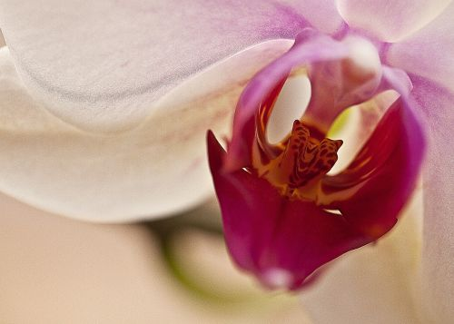 orchid,orchis,flower,blooming,flowering,flower petals,oriental flower,flora,inside a flower,closeup,macro,flower room,gentle,clarity,exotic,characteristic,elegant,white flower,violet
