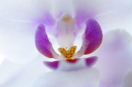 orchid inner blossom