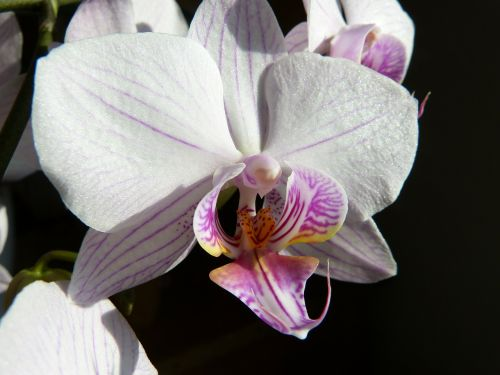 orchid butterfly orchid phalaenopsis
