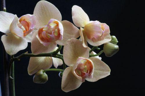 orchid phaleonopsis flowers