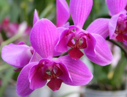 orchidinė rožinė,orchidėjos,rožinis,gėlė,egzotiškas,atogrąžų,Uždaryti,žydėti,žiedas,žydėti,augalas