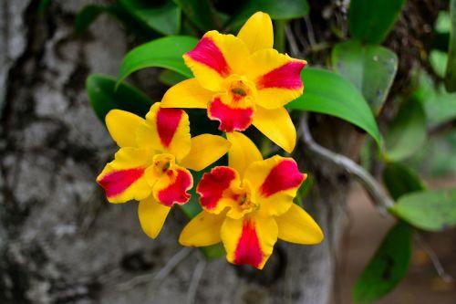orchidėjos,geltonos gėlės,gėlės geltonos spalvos,spalvinga,gamta,gėlės,medžio dekoras,raudona,šviežios gėlės