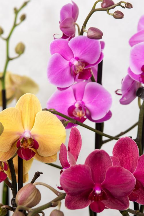 orchids phalaenopsis butterfly orchid