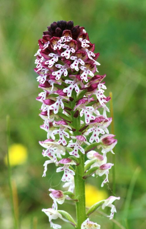 lady orchid orchis ustulata hester