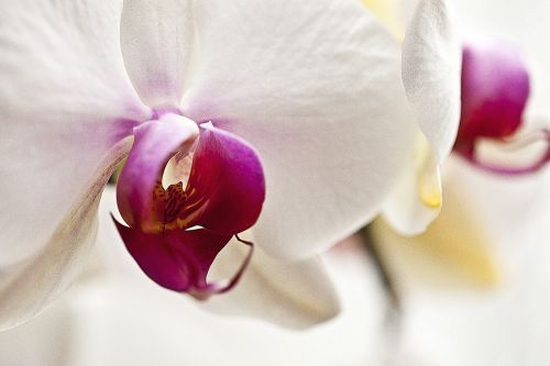 orchis,orchid,flower,blooming,oriental flower,plant,nature,flora,clarity,closeup,inside a flower,flower petals,white flower,flower room,elegant,gentle
