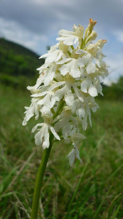 orchis purpurea albino white rarity