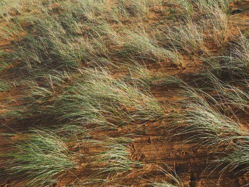 ordinary beach oats plant grass