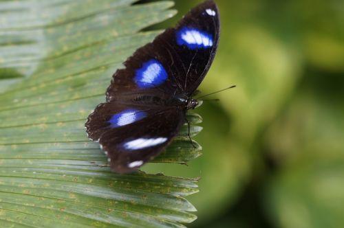 ordinary eierfliege butterfly tropical