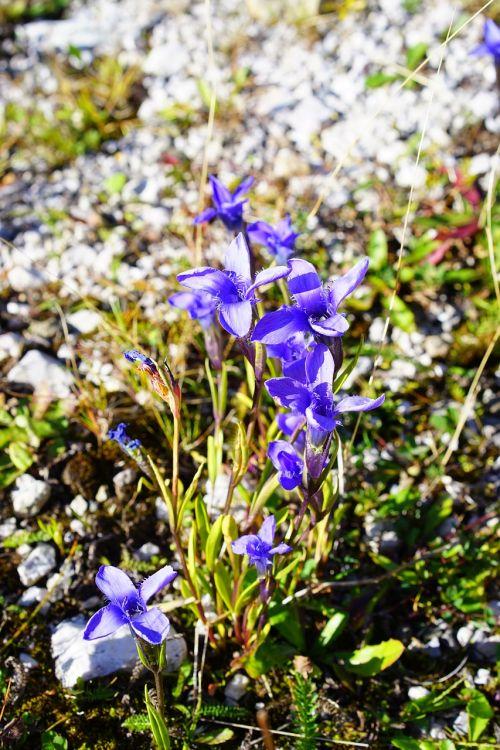 ordinary fransenenzian flower blossom