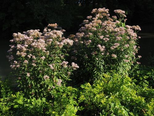 ordinary gravel root kunigunde herb eupatorium cannabinum