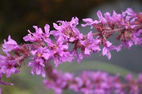 ordinary loosestrife  lythrum salicaria  blossom