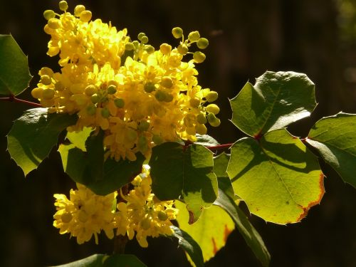 ordinary mahogany stechdornblättrige mahonie mahonia aquifolium