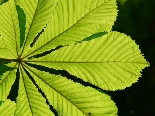 ordinary rosskastanie leaves chestnut