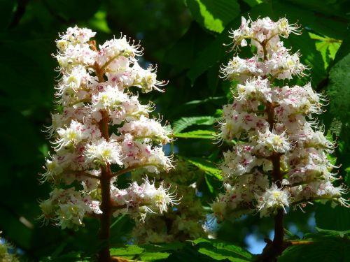 ordinary rosskastanie chestnut flowers