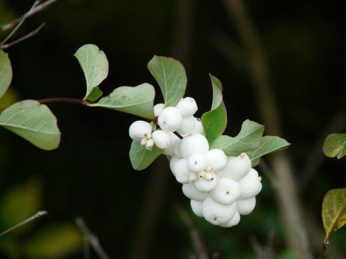 ordinary schneebeere bush berries