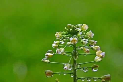ordinary shepherd's purse raindrop drop of water