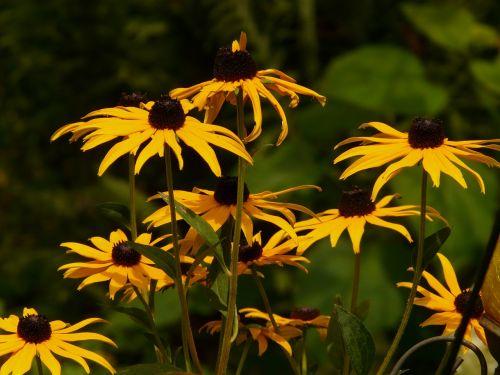 ordinary sonnenhut flower yellow
