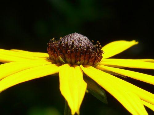 ordinary sonnenhut flower blossom