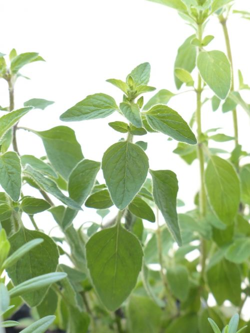 oregano spice herb
