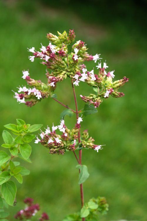 oregano plant blossom