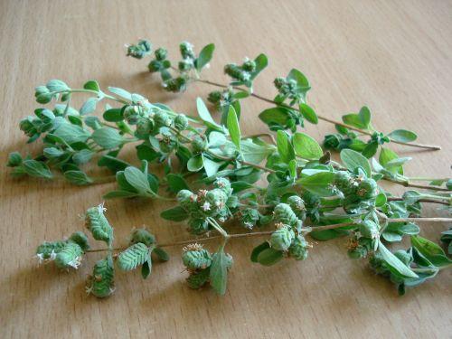 oregano marjoram greens