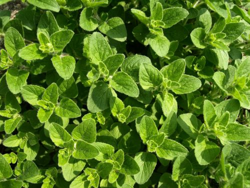 oregano culinary herbs mediterranean