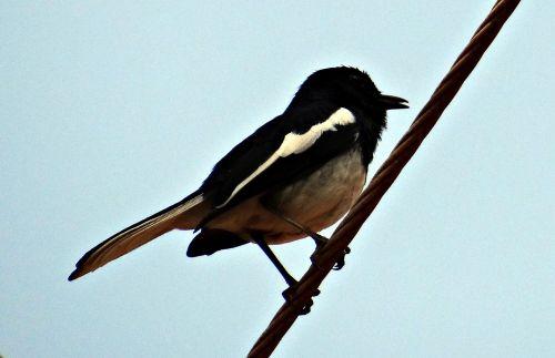 oriental magpie-robin robin copsychus saularis
