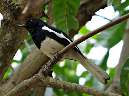oriental magpie-robin male copsychus saularis