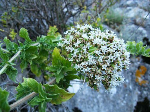 origanum onites thyme flower