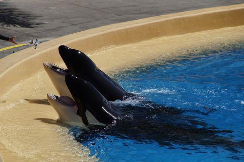 orka killer whale killer